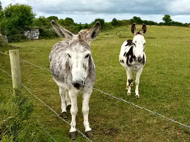 Donkeys of Kinvarra Co. Galway