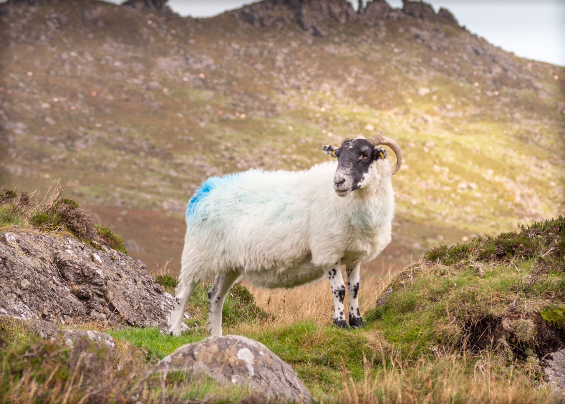 Sheep at Comeragh Mountains, Waterford Ireland
